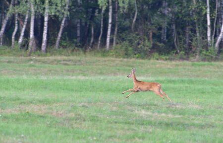 Roe deer running on the meadow in mating season