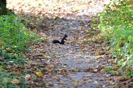 Squirrel runs around the leaves in autumn and looks for food