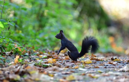 Eurasian red Squirrel runs around the leaves in autumn and looks for food