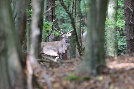 Buck deer on the meadow in the evening in rut season.