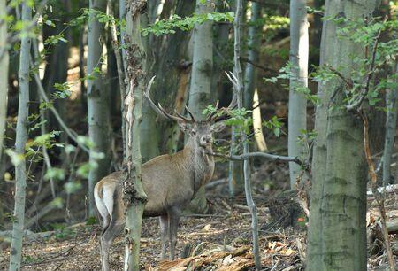 Stag deer with antlers walking in the woods in pairing season Фото со стока