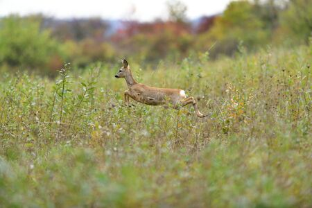 Doe deer jumping in high grass on meadow