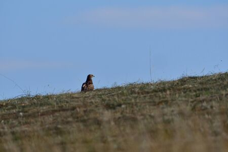 Common buzzard watching on the horizon on  the meadow