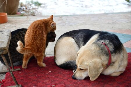 Sleeping dog and cats playing around him as best friends