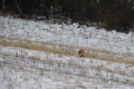 red fox wildlife hunting on the snowy meadow for feed Stock Photo