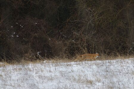 wild red fox walking on the snow in winter looking for food Banco de Imagens
