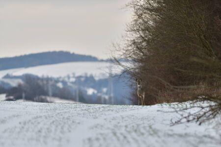 Corzo saliendo del bosque para pastos en la nieve del invierno