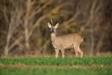 Corzo con una cornamenta caminando y pastando hierba en otoño