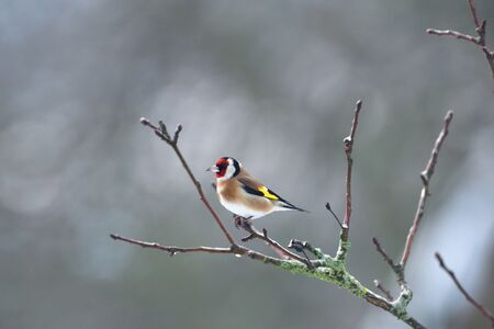 The European goldfinch sits and saves energy in winter sitting on a tree branch