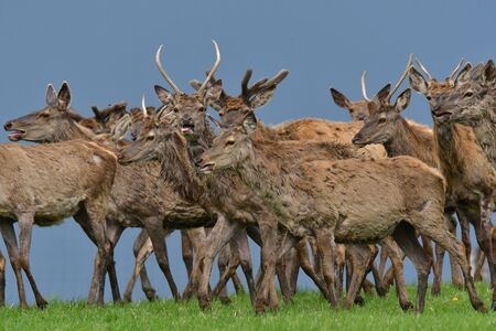 Flock of Deer stag  with growing antler grazing the grass  in spring