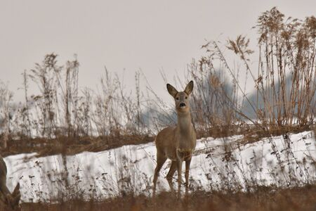 Roe deer coming out of the woods for pasture in winter snow Stock Photo