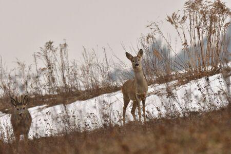 Roedeer in winter camouflage in grey grass against enemy