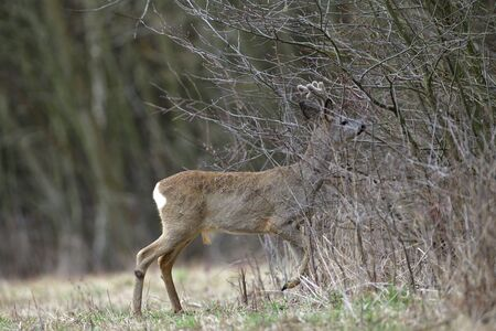 Roe deer with antlers in the spring gnaws the bark of bushes from hunger