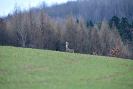 Roe deer with growing antlers in spring looks at horizon on meadow