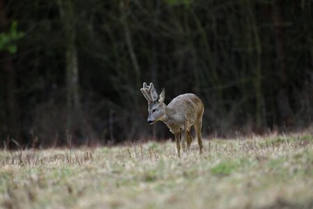 Roe deer with growing antlers comes out to the pasture at the edge of the forest 版權商用圖片