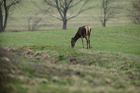 Portrait of deer hind head in spring on green pasture