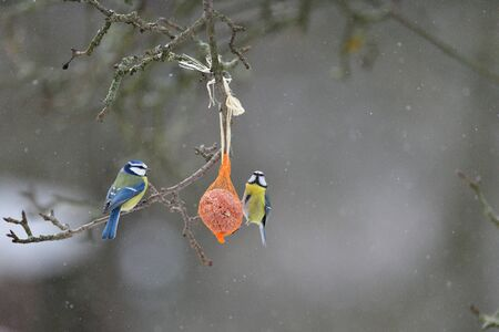 Great tit and blue titmouse hanging and eating on  tallow ball with seeds in winter