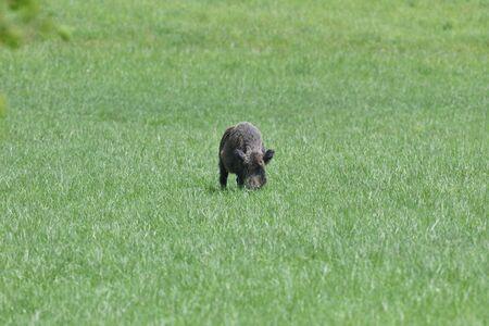 A flock of wild boars graze grass in a spring meadow