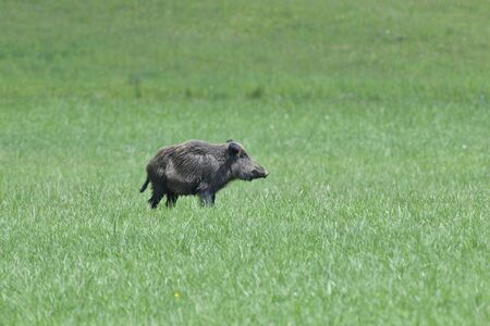 A flock of wild boars graze grass in a spring meadow