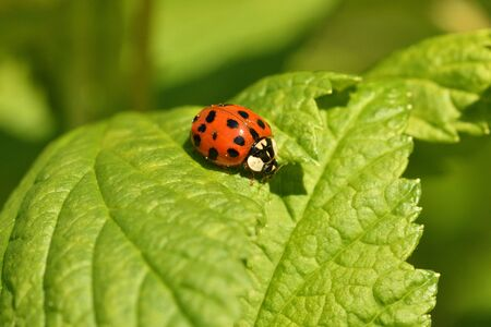 ladybug climbing on the green grass macro photography