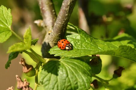 macro detail of ladybird on the green leaf