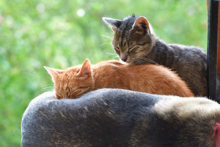 Two domestic cats sleep on the dog's back like friends