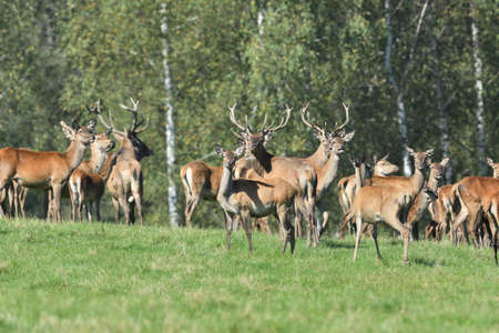 Fly insects flying around the fur of deer on a pasture meadow Foto de archivo