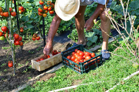 Farmer collects red tomatoe crops in the field garden