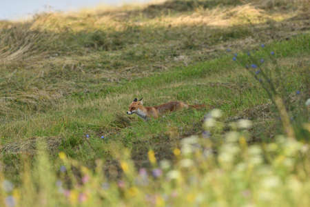 Portrait of red fox walking on the meadow grass Stock Photo