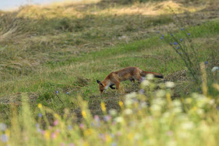 Red fox stalking on a meadow for mouse Stock Photo