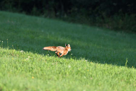 Red fox runs across the meadow to the forest Stock Photo