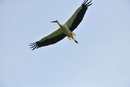 A stork with outstretched wings flies in the blue sky