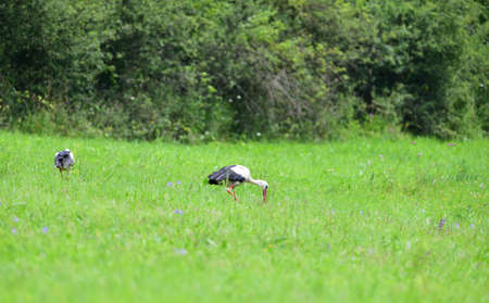White stork looking for food on green meadow in spring