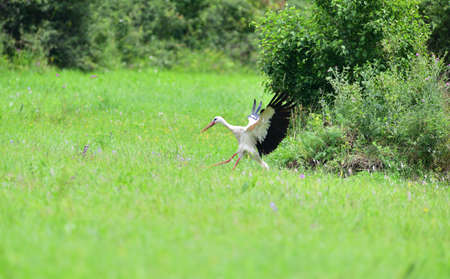 Stork white waving its wings while landing in a meadow Stock Photo