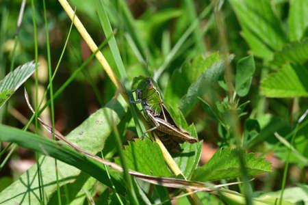 Green Meadow Grasshopper hidden in the green grass