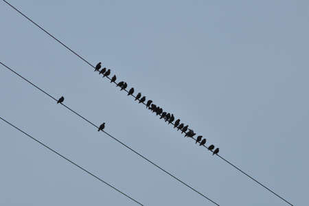 Silhouette of a flock of birds sitting on a power line in a field