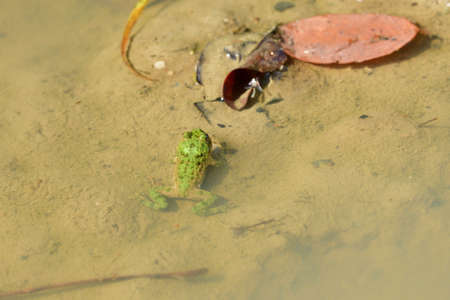 Edible frog sticks its head above the water