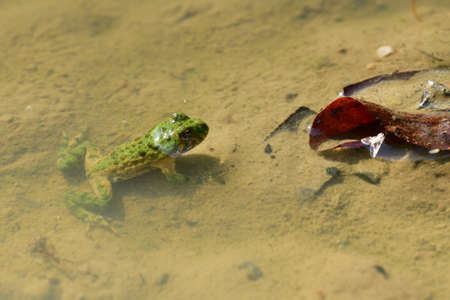 Edible frog swims in the muddy water