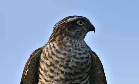 The eurasian sparrowhawk portrait of head close up Stock Photo