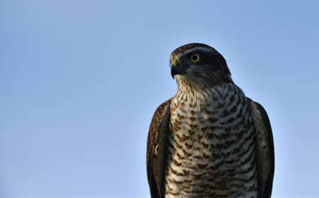 Portrait of the eurasian sparrowhawk head bird of prey