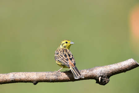 The yellowhammer sits on a branch and observes the surroundings on a sunny day