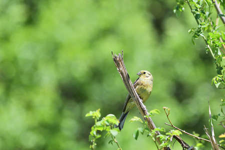 Portrait of yellowhammer sitting on the twig tree close up Stock Photo