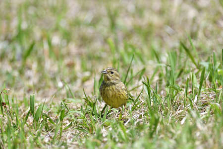The yellowhammer walks on the grass looking for seed food in the summer Stock Photo