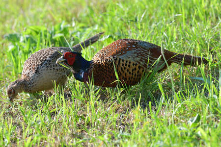 Pheasant male and female together eat seeds from the grass Stock Photo