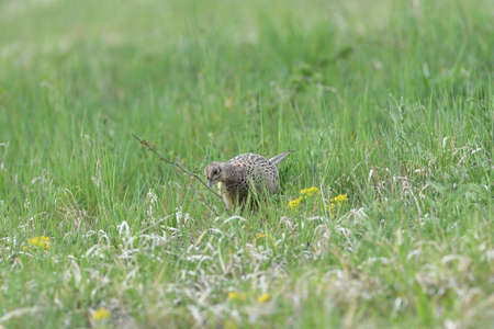 Common pheasant walking on the meadow eating seeds from the grass