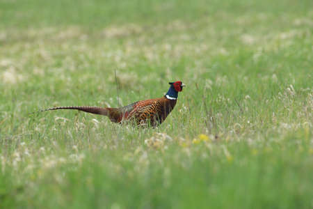 Portrait of a common pheasant on a green meadow in spring during rut