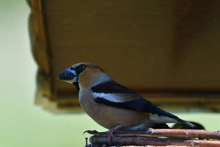 Hawfinch sitting on the rack with sunflower in its beak