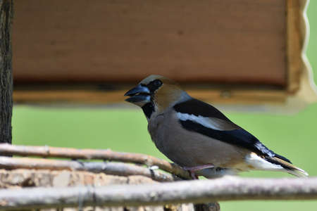 Portrait of the hawfinch sitting on tree branch in the spring Stock Photo
