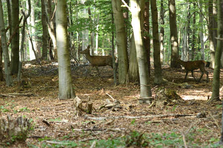 A female deer walks in a forest among the trees in a rut Stock Photo