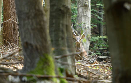 Deer stag with antlers walks between branches in the forest at mating time Stock Photo
